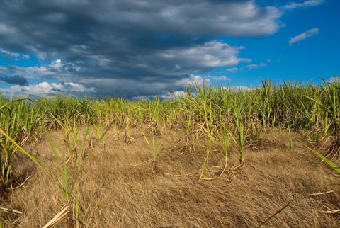 Canefield, Jamaica